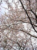 飯盛山城跡の桜